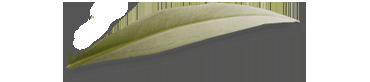 olijvenblad